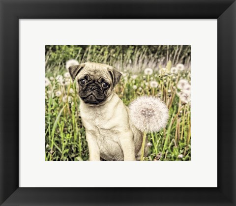 Framed Pug with Dandelion Print
