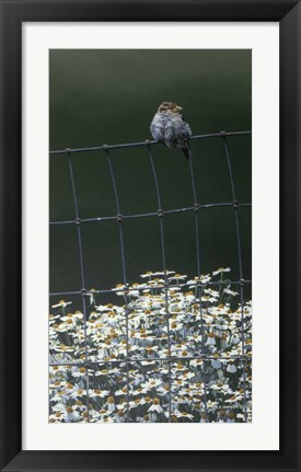 Framed House Sparrow & Daises Print