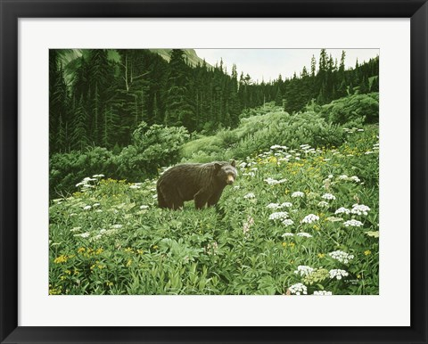 Framed Old Man Of The Mountain- Black Bear Print