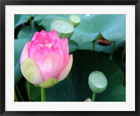Framed Purple Lotus II Print