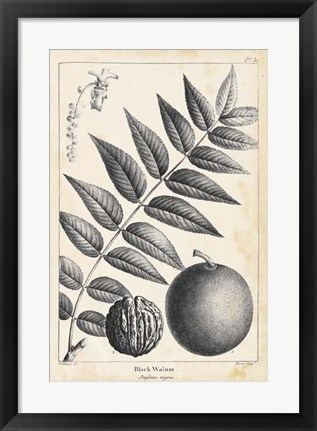 Framed Vintage Black Walnut Tree Print