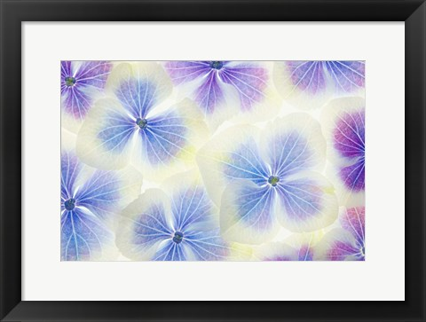 Framed Blue and White Hydrangea Flowers Print