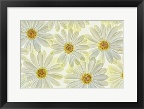 Framed Daisy Flowers Print