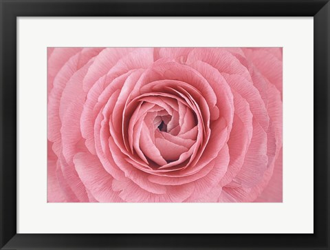 Framed Pink Persian Buttercup Flower Print