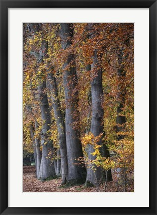 Framed Autumn Beeches II Print