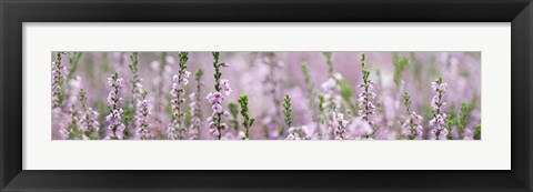 Framed Heather Scape Print