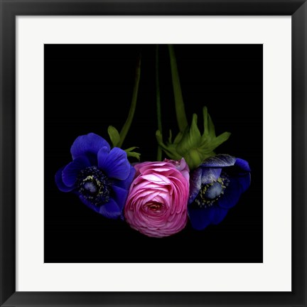Framed Anemone And Ranunculus Print