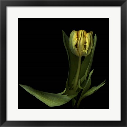 Framed Golden Parrot Tulip Print