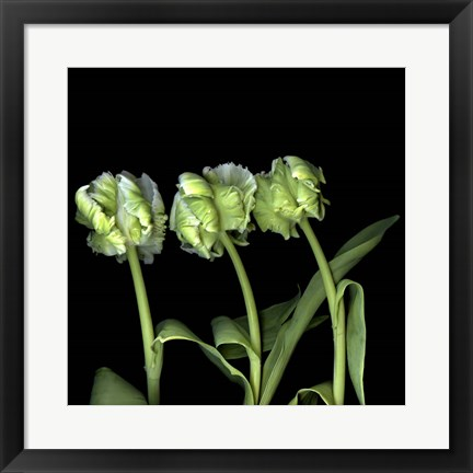 Framed White Parrot Tulips Print