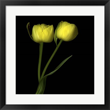 Framed Yellow Tulips 2 Print