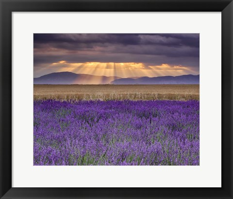 Framed Sunbeams over Lavender Print