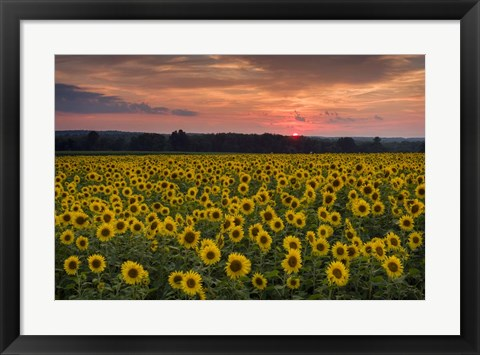 Framed Taps over Sunflowers Print