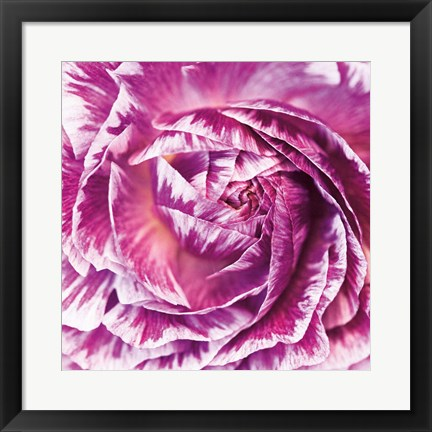 Framed Ranunculus Abstract IV Color Print