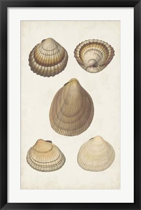 Framed Antiquarian Shell Study III Print