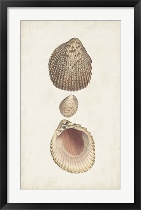 Framed Antiquarian Shell Study VI Print