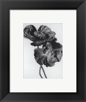 Framed Pair Of Black Poppies Print