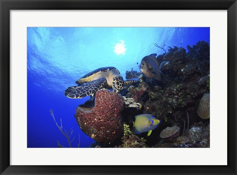 Framed Hawksbill Sea Turtle eating, Castle Wall, Grand Cayman Print