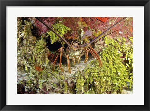 Framed Spiny lobster hiding in the reef, Nassau, The Bahamas Print