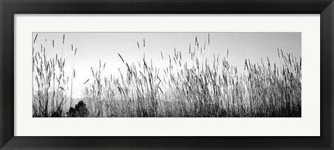 Framed Tall grass in a national park, Grand Teton National Park, Wyoming Print