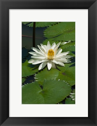 Framed Fiji, Water lily flower Print