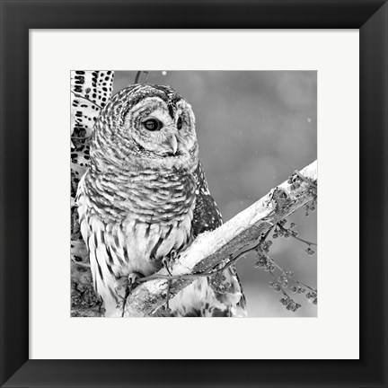 Framed White Owl Print