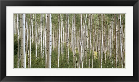 Framed Early Autumn Aspens Print