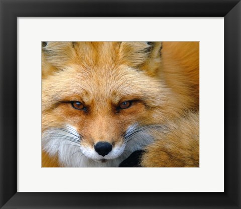 Framed Foxy Lady Print
