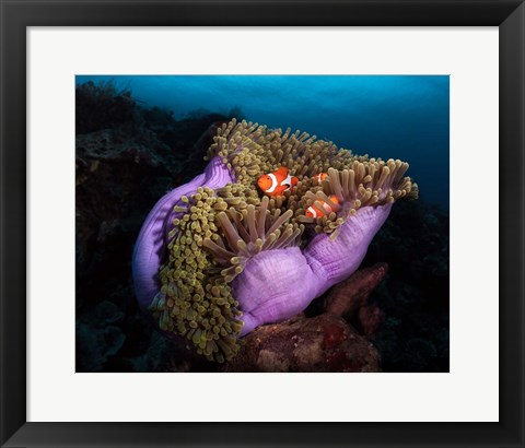 Framed Clown Fish With Magnificent Anemone Print