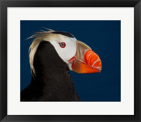 Framed Tufted Puffin Print
