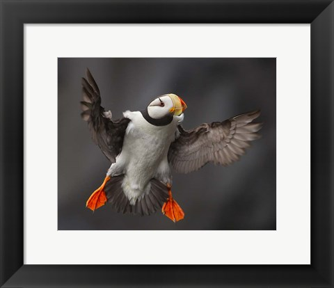Framed Full Flaps! Print
