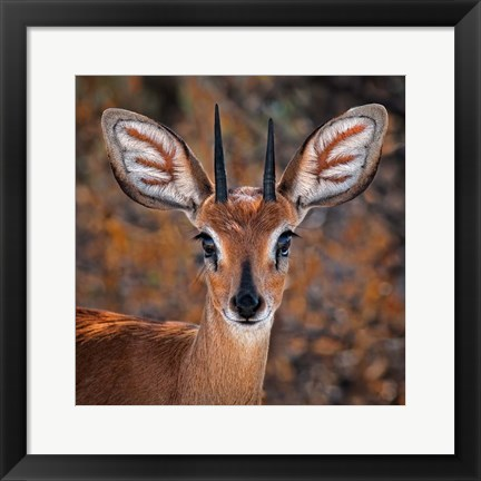 Framed Steenbok, One Of The Smallest Antelope In The World Print