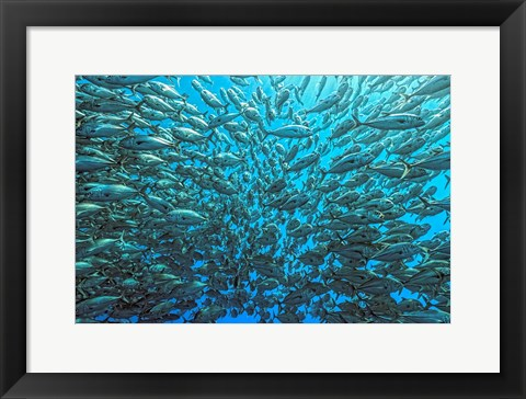 Framed Splitted School Of Jackfish Print