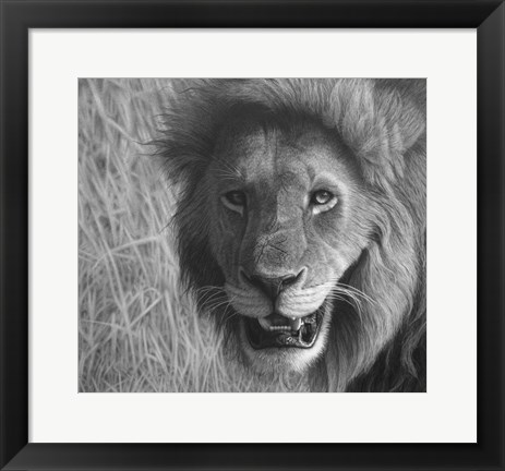 Framed Lion In The Massai Mara Print