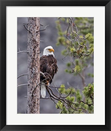 Framed Bald Eagle Print