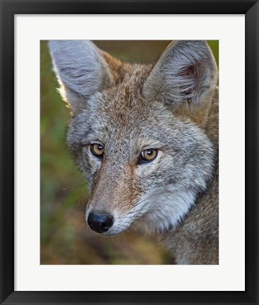 Framed Coyote Print
