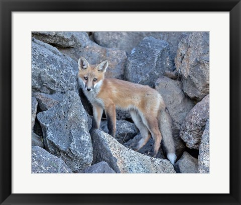 Framed Red Fox Kit I Print