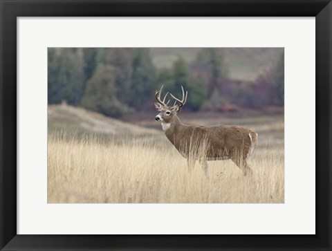 Framed Montana Whitetail Buck III Print