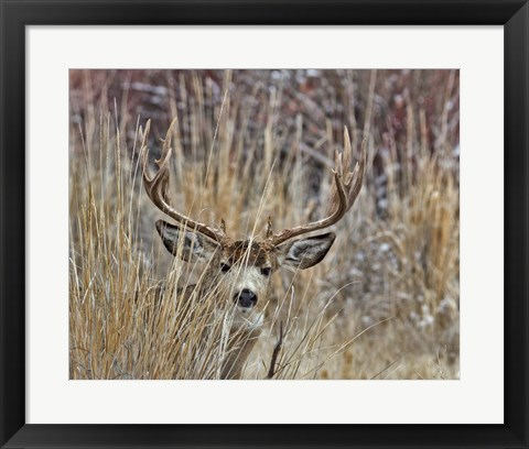 Framed Muley - Malheur II Print