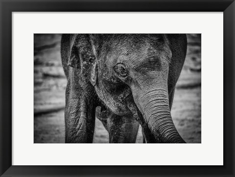 Framed Young Elephant Black & White Print