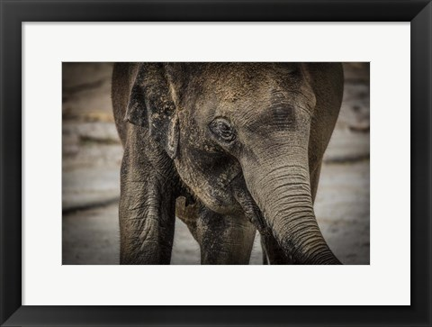 Framed Young Elephant Print