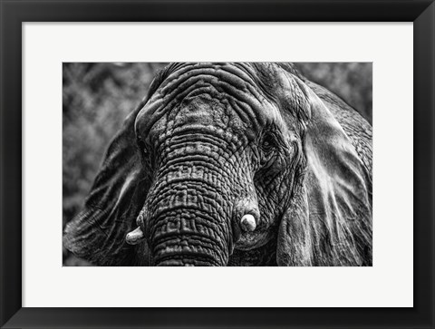 Framed Elephant Front Black & White Print