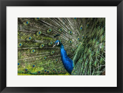 Framed Peacock Showing Off Print