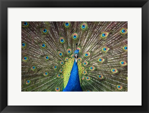 Framed Peacock Showing Off Close Up Print