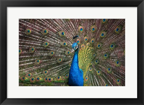Framed Peacock Showing Off III Print