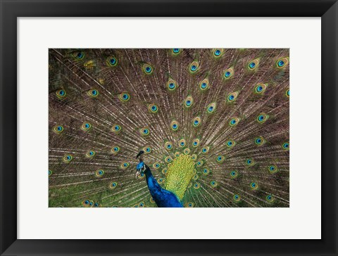 Framed Peacock Showing Off IV Print