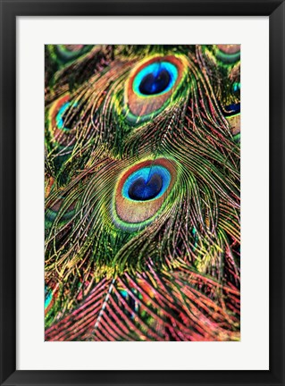 Framed Peacock Feathers Print