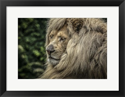 Framed White Lion Wide Print