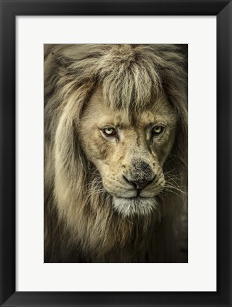 Framed White Albino Lion IV Print