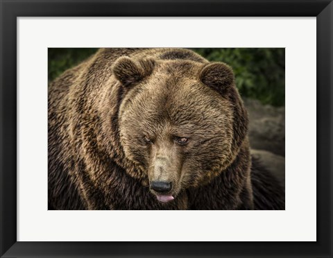 Framed Grizzly Print