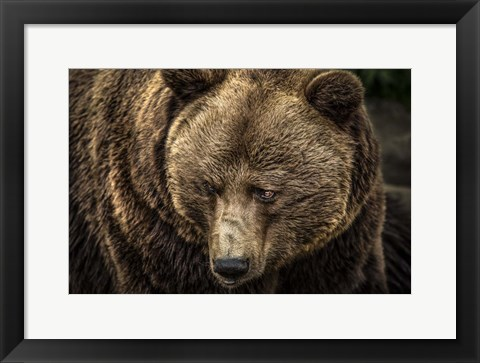 Framed Grizzly II Print